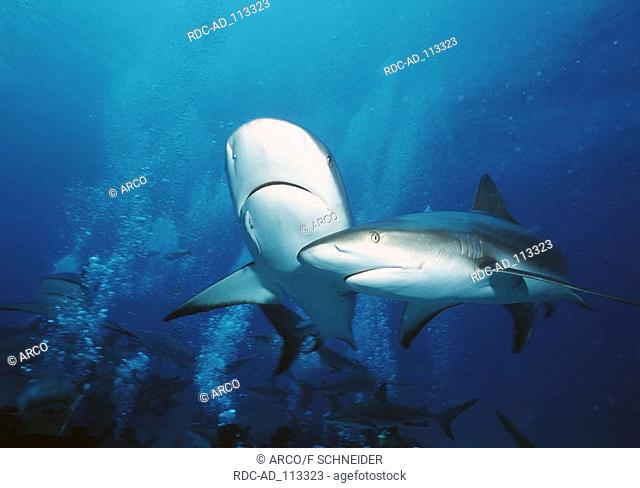 Carribean Reef Sharks Bahamas Carcharhinus perezi