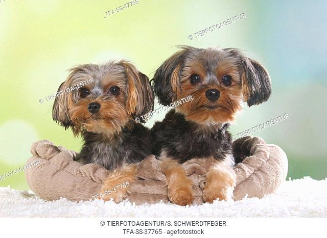 2 Yorkshire Terrier