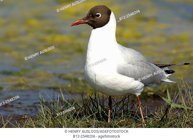 Black-headed Gull (Chroicocephalus ridibundus). France