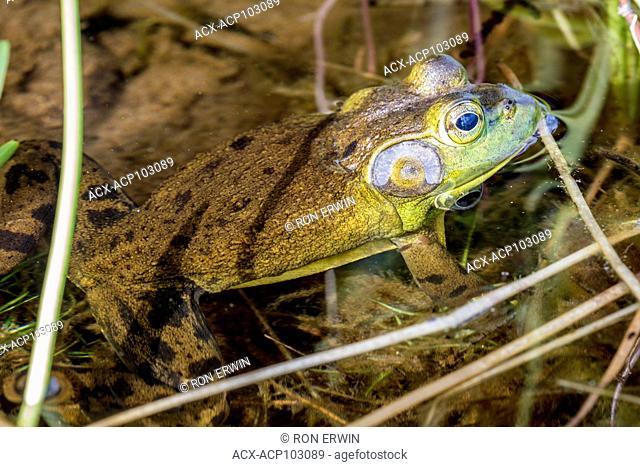 American Bullfrog (Lithobates catesbeianus), Algonquin Provincial Park, Ontario, Canada