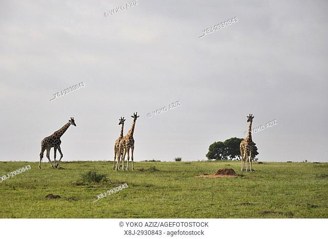 Uganda, Giraffes