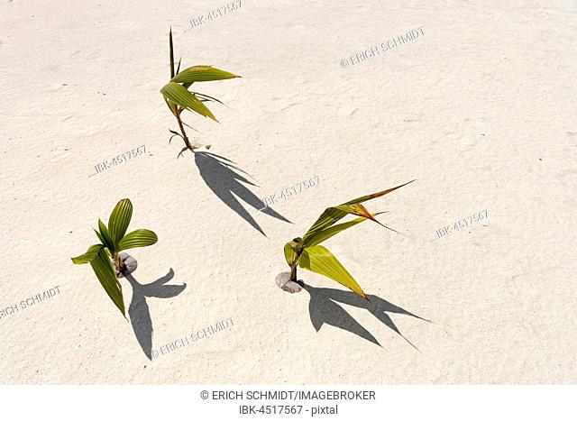 Sprouting coconut, small coconut trees (Cocos nucifera) in the sand, Cook Islands, Oceania