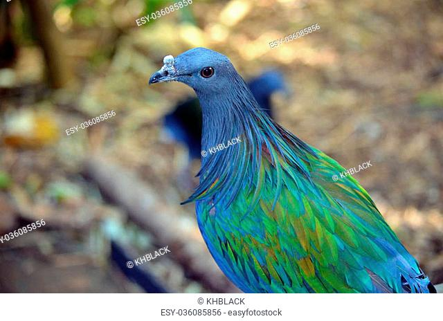 Beautiful blue and green irridescent feathers of a Nicobar pigeon from the Malay archipelago