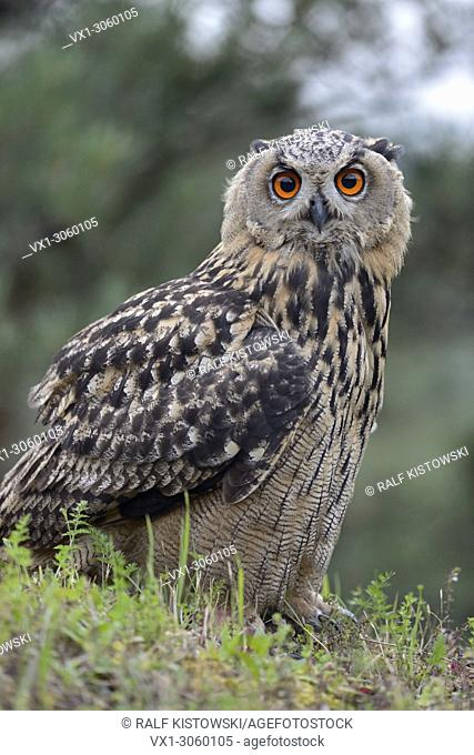 Northern Eagle Owl (Bubo bubo), young bird, sits on a cliff edge, close-up, side-view, eye-contact, wildlife, Germany, Europe