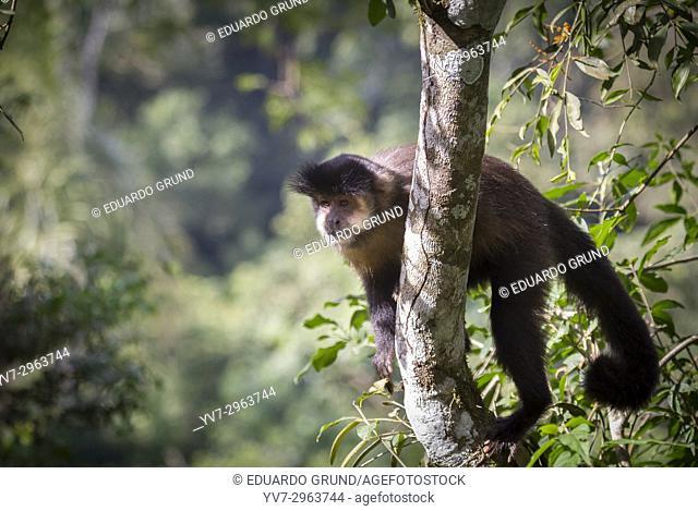 Monkey Cai or Maicero. Park and National Reserve Iguazú - Iguazú Falls. Argentina