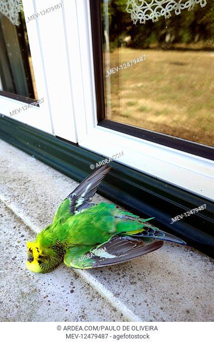 Dead parakeet after hitting a window. For birds