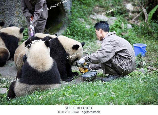 Breeding a Giant panda, Wolong, Wenchuan, Sichuan, China
