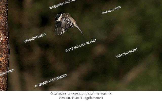 Marsh Tit, parus palustris, Adult Flying and landing on Tree Trunk, Slow motion