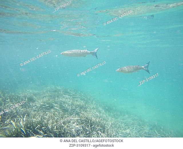Liza Aurata fishes Snorkeling in Tabarca island Alicante province Spain
