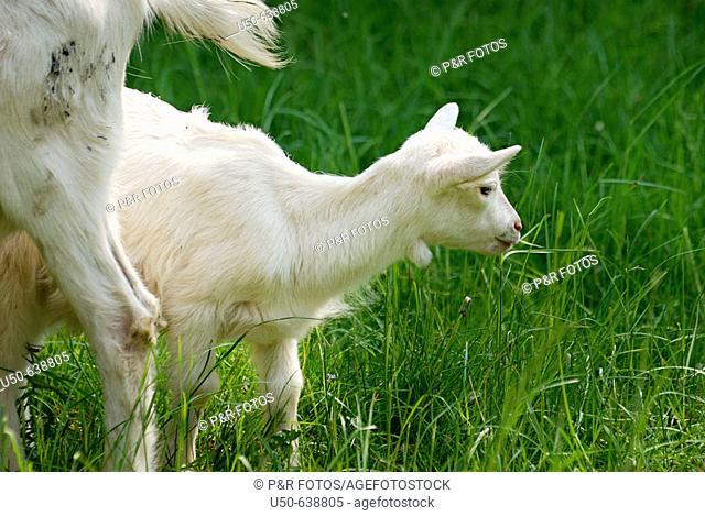 Kid goat,  Artiodactyla,  Bovidae: Caprinae, Capra aegagrus