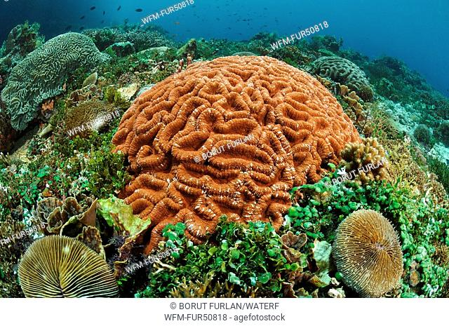 Hard Corals at healty Reef, Alor, Lesser Sunda Islands, Indo-Pacific, Indonesia