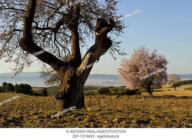 Almendros en flor  Finca Los Pandos  Almansa  Albacete