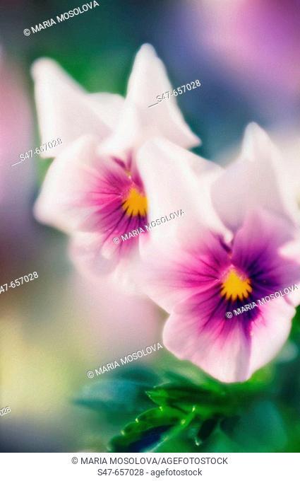Two Pansies. Viola x wittrockiana. May 2006, Maryland, USA