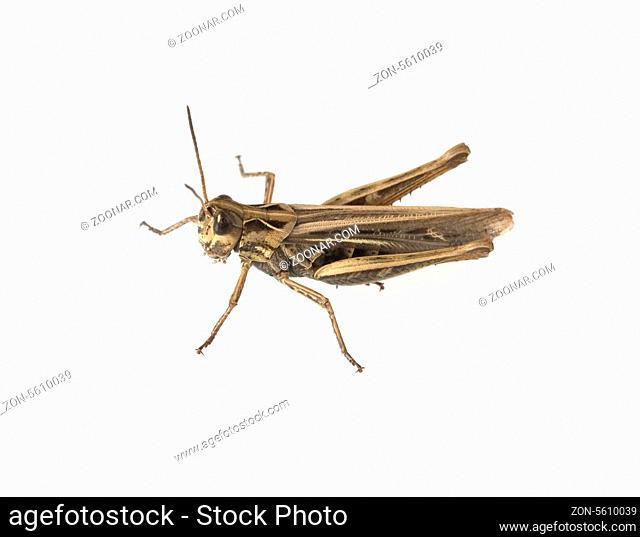 Feldheuschrecke, Acrididae, Grashuepfer