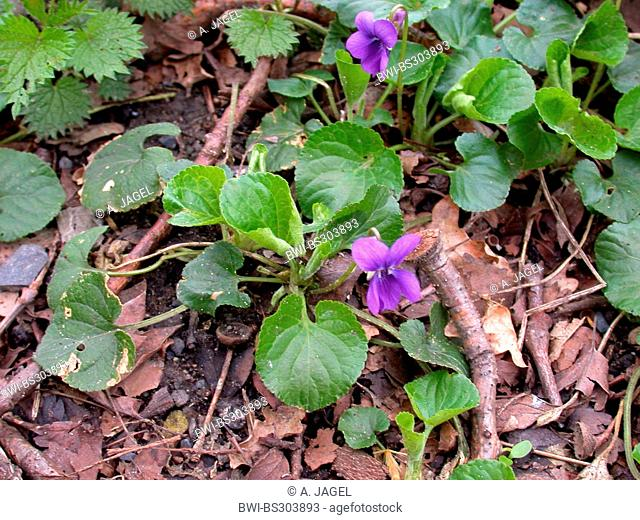 English violet, Sweet violet (Viola odorata), blooming, Germany