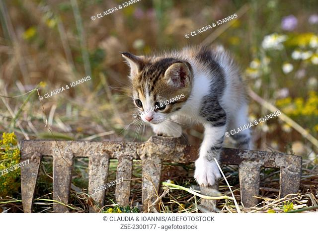 Four weeks old kitten climbing over old rake in mowed meadow