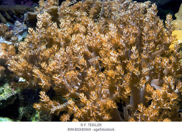 Kenya Tree Coral (Capnella spec.), close-up view