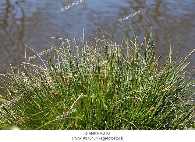 Greater Tussock-sedge Carex paniculata - Groningen, Groningen, The Netherlands, Holland, Europe
