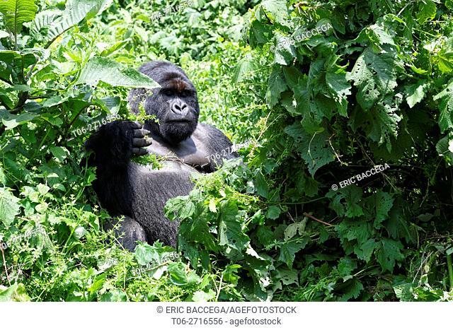 Male silverback Mountain gorilla feeding in forest (Gorilla beringei beringei) Virunga National Park, Democratic Republic of Congo, Africa