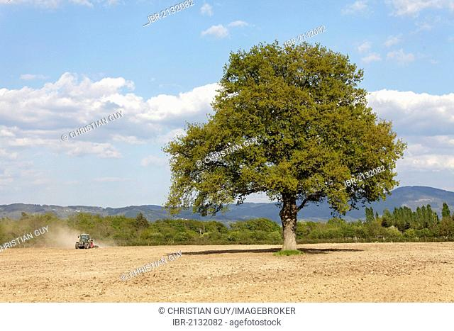 Oak tree, agricultural landscape, Puy de Dome, Auvergne, France, Europe