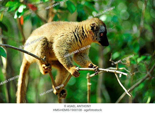 Madagascar, Andasibe Mantadia National Park, Ile aux Lemuriens, Common Brown Lemur (Eulemur fulvus fulvus) on branch