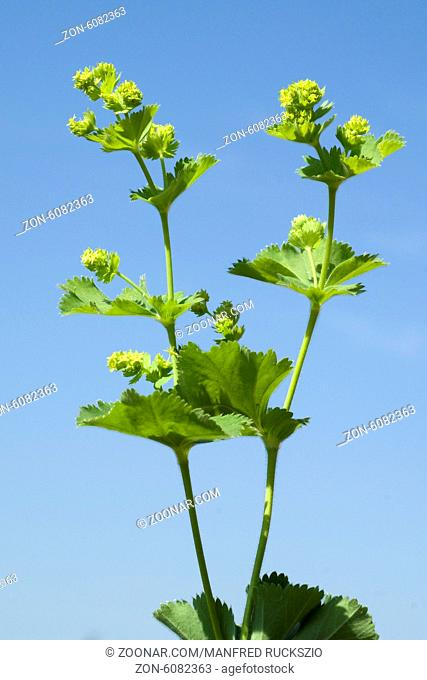 Frauenmantel; Alchemilla mollis; Hasenmaenteli;