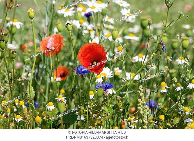 Wild flower meadow with Common Poppies (Papaver rhoeas), cornflowers (Cyanus segetum/Centaurea cyanus) and chamomile at Germerode, Werra-Meißner-Kreis, Hesse