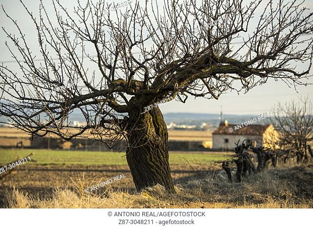 Almond (Prunus dulcis) and country house. Almansa. Albacete province. Spain