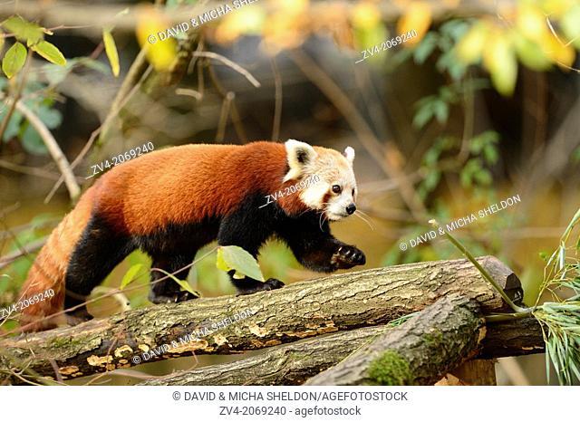 Close-up of a red panda (Ailurus fulgens) in a forest in autumn