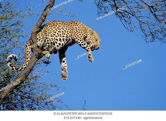 Leopard (Panthera pardus) on a tree
