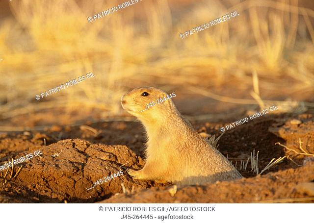 Black-tailed Prairie Dog (Cynomys ludovicianus). Mexico