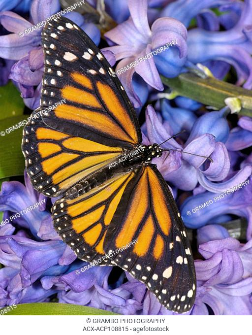 Monarch butterfly, Danaus plexippus, on hyacinths in spring