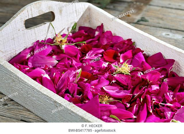 Rugosa rose, Japanese rose (Rosa rugosa), collected rose petals, are dried for rose tea, Germany