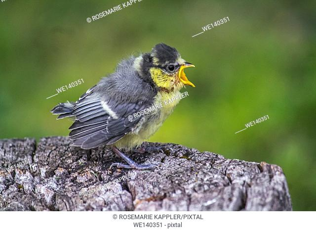 Germany, Saarland, Homburg, A crying young blue tit on a tree stump