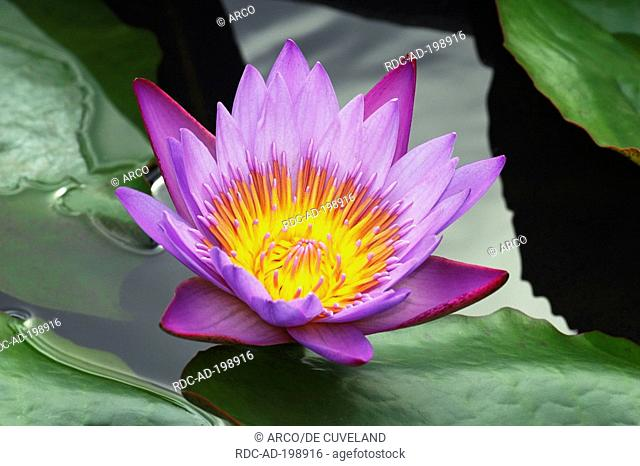 Blue Water Lily, Nymphaea stellata