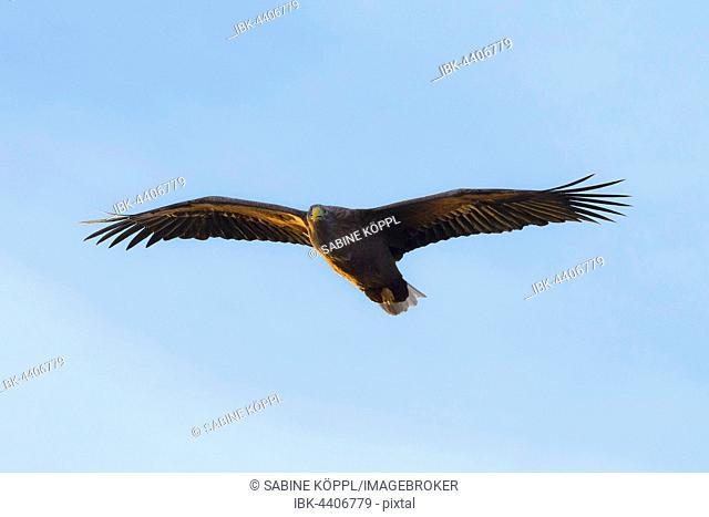 White-tailed eagle (Haliaeetus albicilla) in flight, Lofoten, Norway