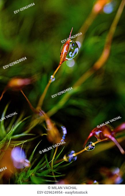 Fresh green grass with dew drops closeup. Nature Background, kapka rosy