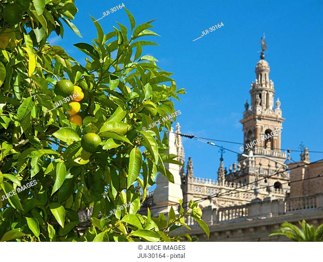 Citrus tree and ornate cathedral, Seville, Spain