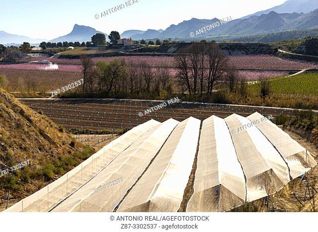 Vine greenhouse. Cieza. Murcia, Spain