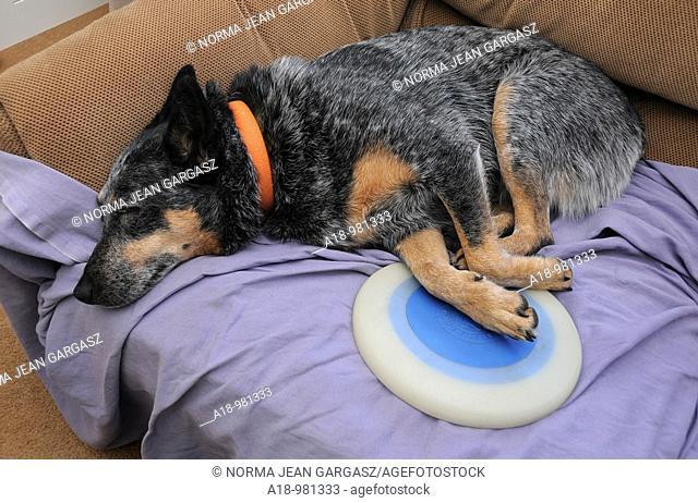 A Queensland Blue Heeler, Australian Cattle Dog, sleeps with her disc after play