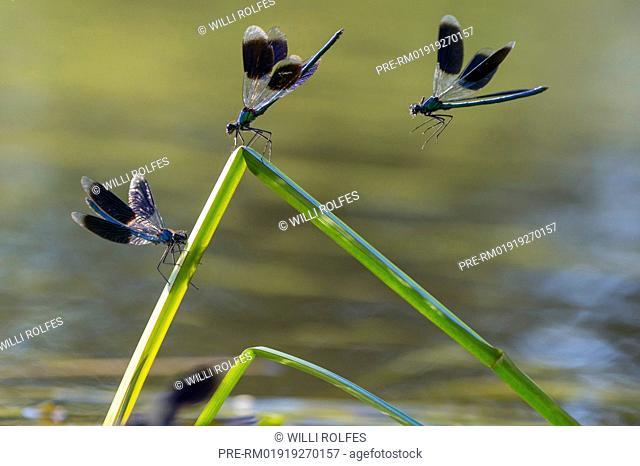 Banded demoiselle, Calopteryx splendens / Gebänderte Prachtlibelle, Calopteryx splendens