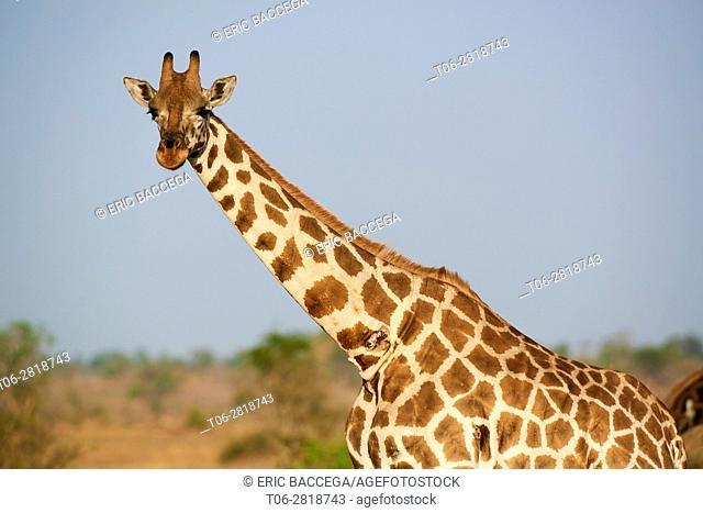 Rothschild's giraffe (Giraffa camelopardalis rothschildi) portrait in Murchisson Falls National Park, Uganda