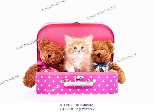 Norwegian Forest Cat. Kitten (6 weeks old) and two Teddy bears sitting in a pink suitcase with white polka dots. Studio picture against a white background