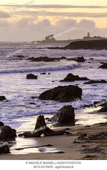 Elephant Seals on the beach with Piedras Blancas Lighthouse in the distance along Hwy 1 just north of San Simeon