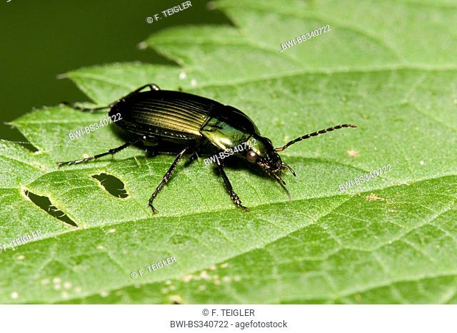 Rain beetle, ground beetle (Pterostichus cupreus, Poecilus cupreus), on a leaf, Germany