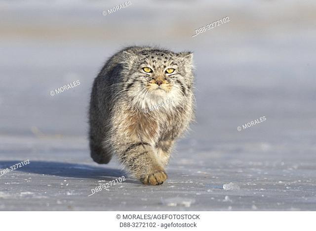 Asia, Mongolia, East Mongolia, Steppe area, Pallas's cat (Otocolobus manul), moving, running