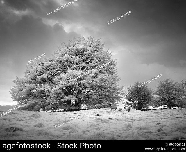 Infrared landscape at Ubley Warren in the Mendip Hills, Charterhouse, Somerset, England