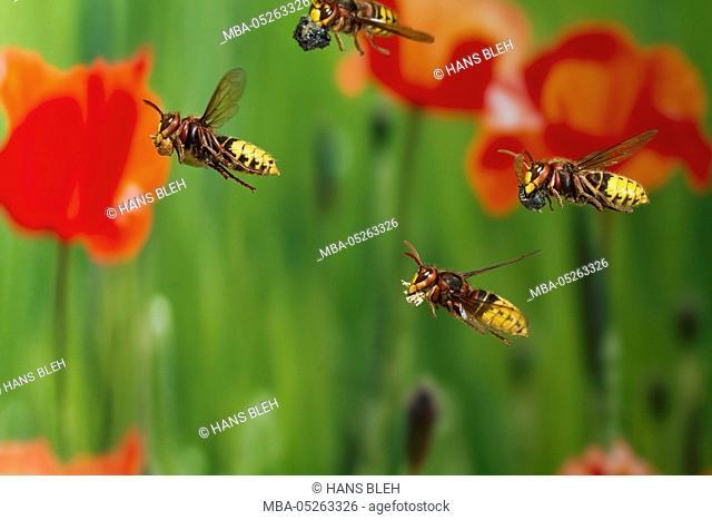 Hornet, Vespa crabro, in flight