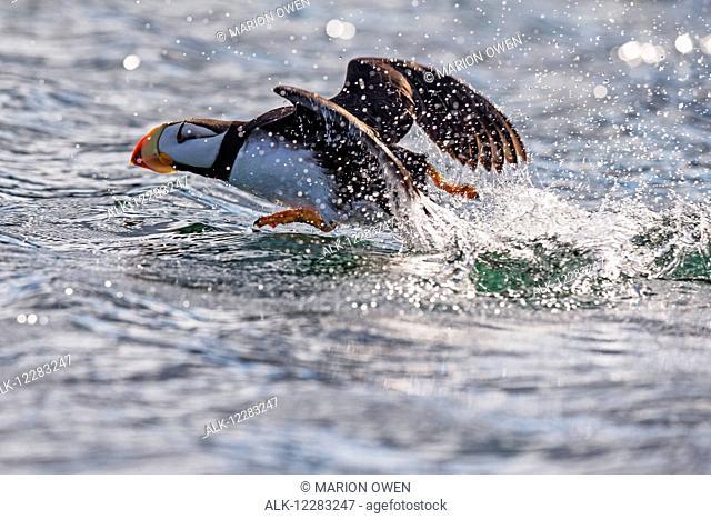 Horned puffin (Fratercula corniculata) taking off, Kodiak Island, Southwest Alaska