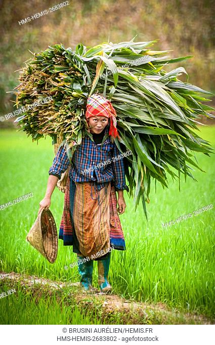 Vietnam, High Tonkin, province of Lao Cai, Bac Ha village, red H'mong peasant bringing on her back a significant leaf harvesting, amongst the rice paddies